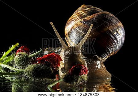 Snail and poppy buds isolated on black  background