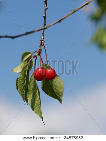 Fresh red cherry on a tree in nice blue sky background, summer fruits, cherry tree fragment photo