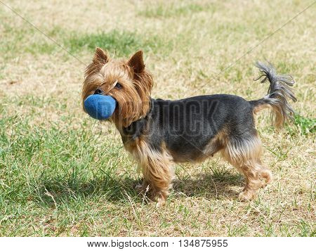 Puppy yorkshire terrier on the green grass background,Cute Yorkshire Terrier Dog Playing in the Yard, One small yorkshire terrier,small nice puppy dog