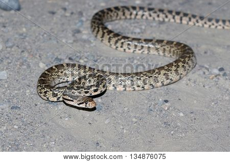 A Gopher Snake on a road at night