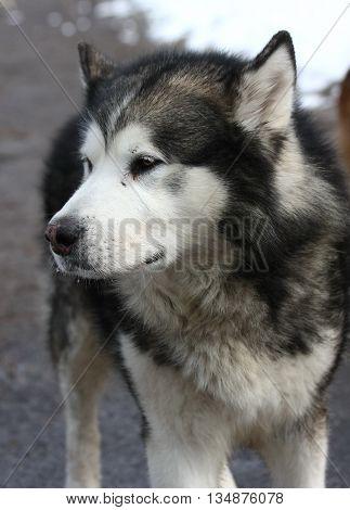 Portrait of aged proudly posing Alaskan Malamut