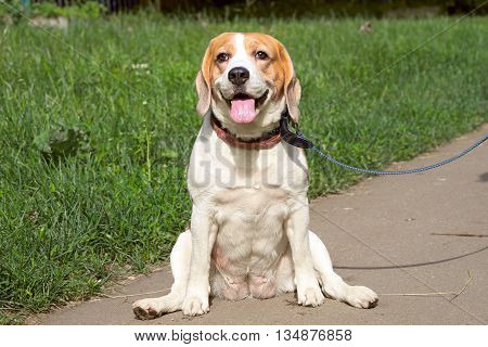 Beautiful Purebred Beagle Dog Sitting In The Patch