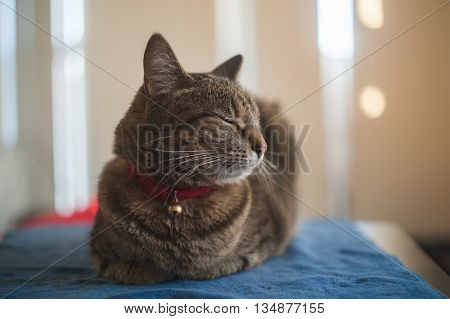 Sleepy Cat lying down on the bed