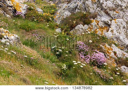 Flowered rocky coastline with Armeria Maritima flowers and wild carrots in Brittany, France