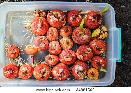 Gladiolus bulbs before planting in a plastic box