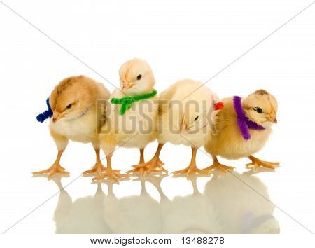 Small Fluffy Chickens With Colorful Scarves - Isolated