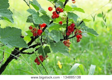 Red Currant, Redcurrant