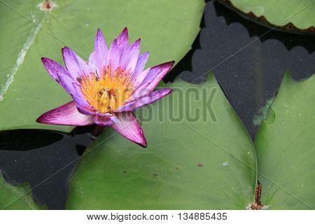Lotus, purple, white on beautiful nature background