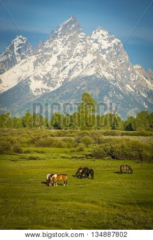 Horses in the foreground of beautiful sheer snow covered mountain peeks against blue sky crisp air natural scenic outdoor western landscape