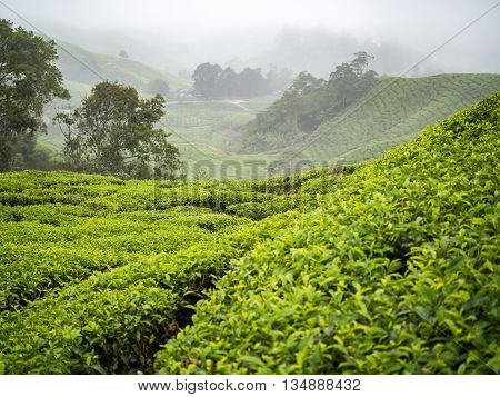 Boh Tea plantation in Cameron highlands Malaysia