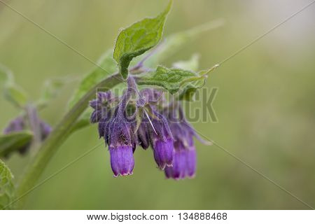 Common Comfrey (Symphytum officinale) flowering one flower is visited by an Ant