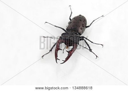 the male beetles deer on white background
