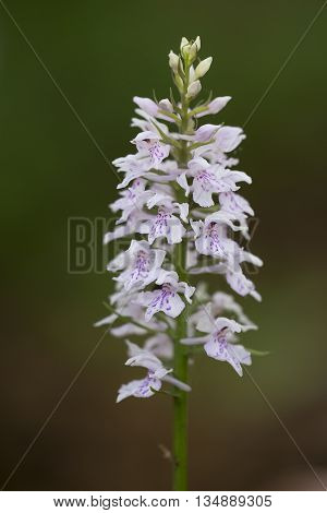 Common Spotted Orchid (Dactylorhiza fuchsii) flowering in an Arboretum