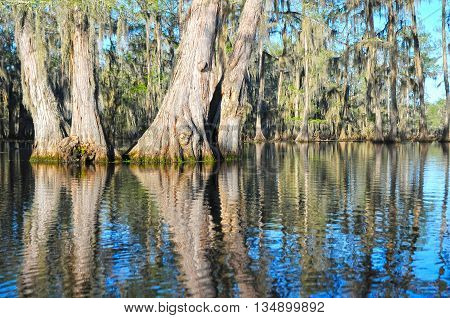 A group of ancient Bald Cypress in a beautiful Louisiana swamp