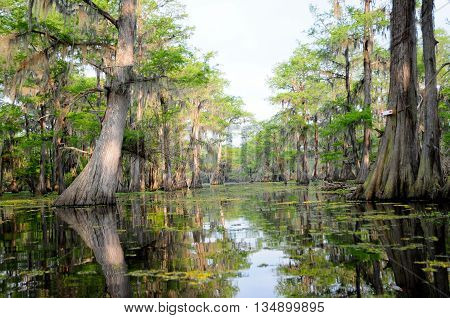 A beautiful stand of Bald Cypress in a pristine Louisiana swamp