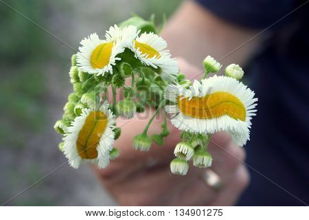 Bouquet of three long mutated daisies weird daisies