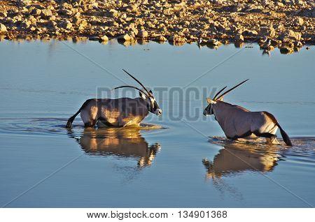 Two oryxes take a bath  in the waterhole