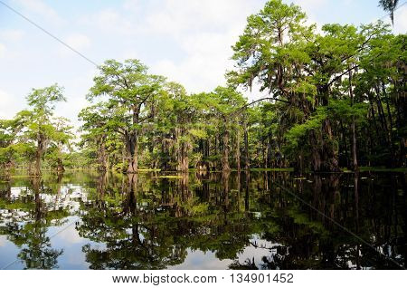 Beautiful Bald Cypress trees in a Louisiana swamp