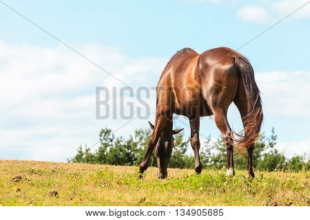 Majestic graceful brown horse in meadow field. Tranquil countryside scene.
