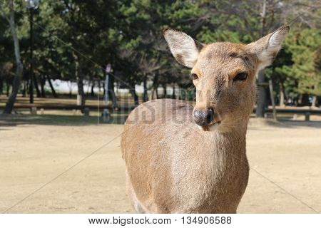Deer lived freely in the garden at Nara Japan