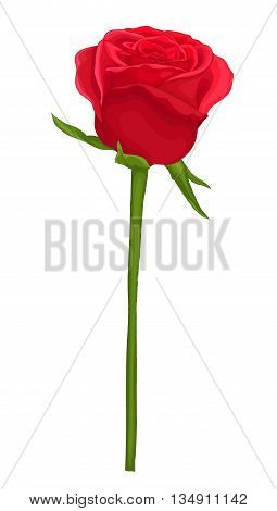 beautiful red rose with long stem isolated on white. Perfect for background greeting cards and invitations of the wedding birthday Valentine's Day