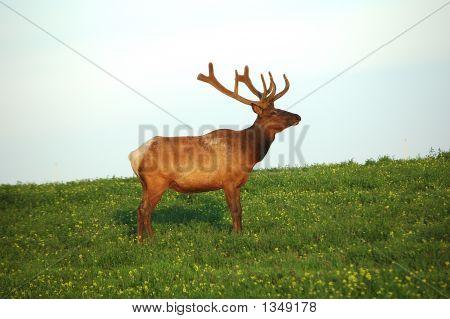 Elk 11