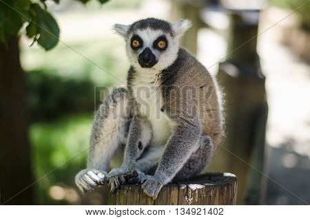 Close-up portrait of lemur catta (ring tailed lemur)