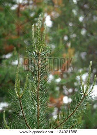 Young shoots of Pinus sylvestris in Yakutia
