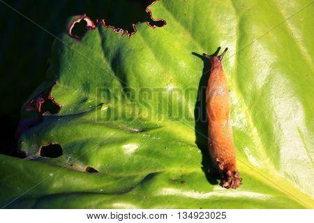 garden pest slug on a green leaf plants