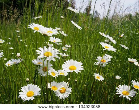 Field of Daisies, wildflowers and grasses, Daisies