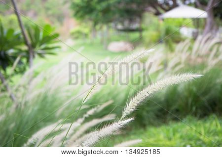 Soft Focus of Feather Pennisetum background field of grass with morning warm tone and vintage