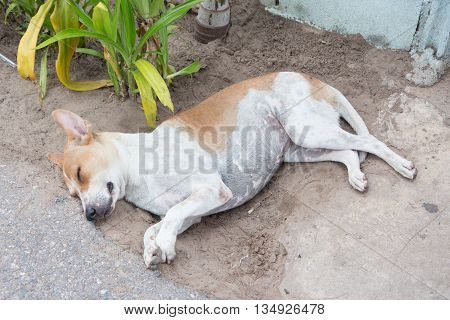 happy dirty stray fat dog sleep in soil clay feel comfortable