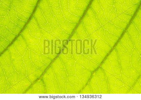 Green Leaf Texture Over White Background/ Leaf Texture