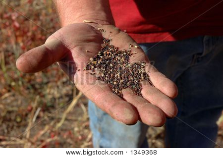 Canola In Man'S Hand