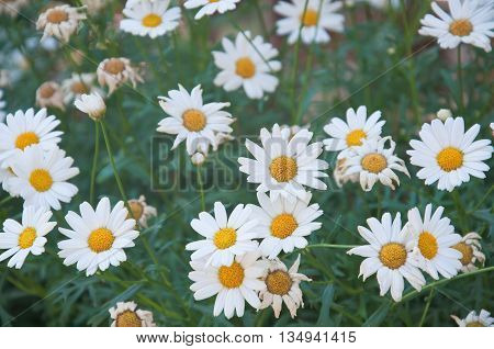 fantastic and beautiful daisies flowers ready for picking italy