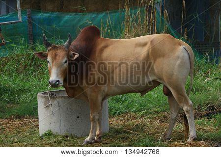Thai Brahman bull used for bull fighting, Ranot, Thailand