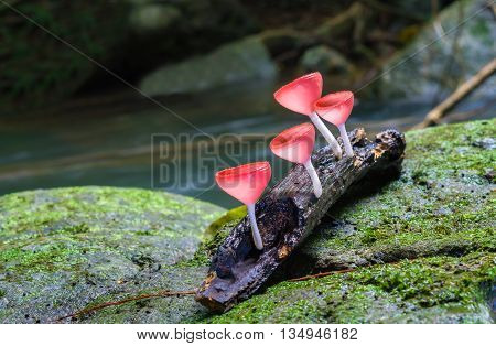 Pink Fungi cup on the nature background