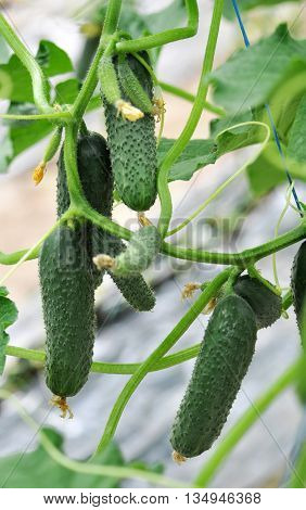 Vegetables Cucumber ordinary soil growing on trellis in a greenhouse