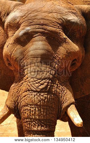 Close up view of elephant muzzle skin texture.