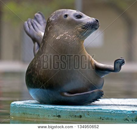 A funny attitude of one seal