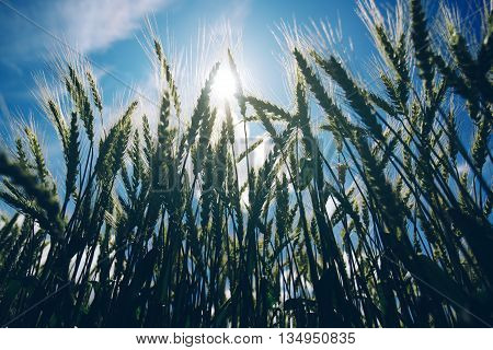 Low angle view of retro toned wheat field against summer sun crops growth and successful agricultural production concept.