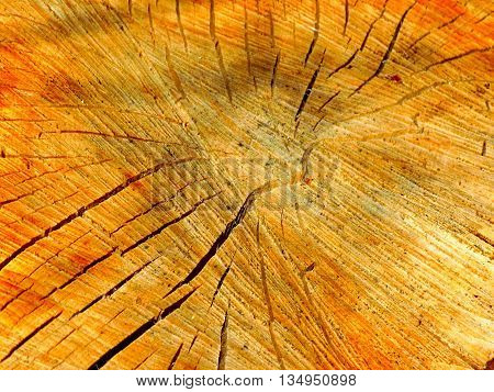 Wood texture on tree stump in deciduous forest after wood exploitation