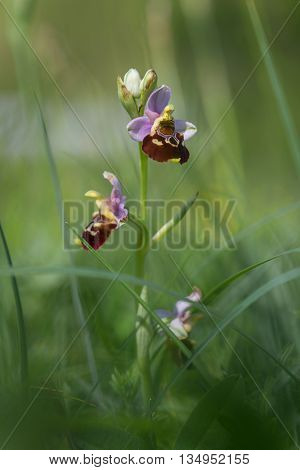 Rarely Bee Orchid - Ophrys Holoserica In Green Grass