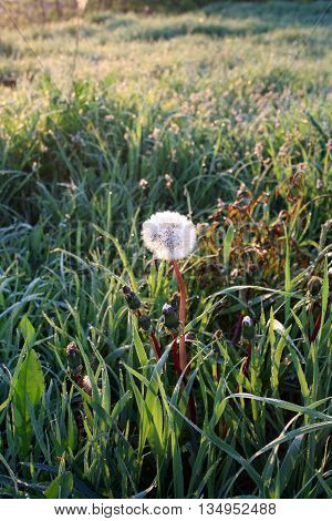 Dandelion blowball (clock) in sunrise light in spring/ early summer