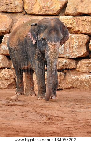 Asian elephant in biblical zoo park of Jerusalem - the zoo park that collects all the animals feartured in the Bible.