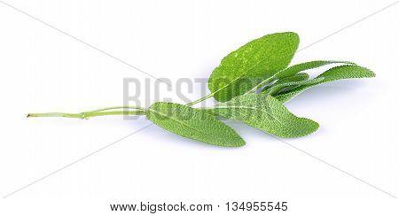 fresh Sage plant on a white background