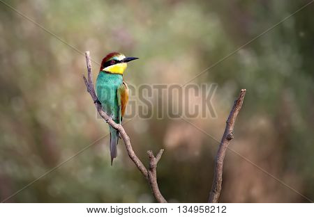 European bee-eater ( Merops Apiaster ) sitting on the branch. Blurry background