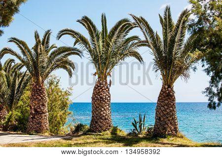 Mediterranean Sea palm trees on the seaside, Crete, Greece.