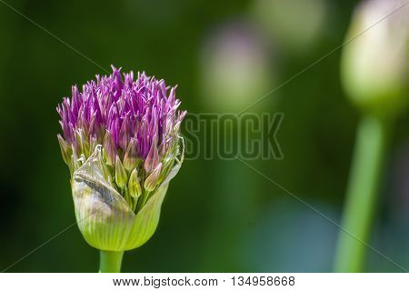 Green flower with purple blossom blurry background