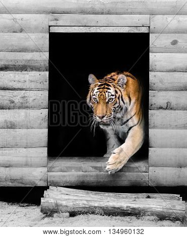 big Amur tiger emerges from the den